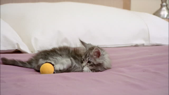 maine coon kitten playing with ball on top of bed - 横たわる点の映像素材/bロール