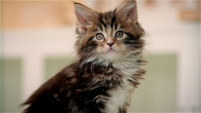 cu, maine coon kitten - fluffy stock videos & royalty-free footage