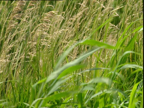 maize and grasses plants blow gently in wind st louis - human vertebra stock videos & royalty-free footage