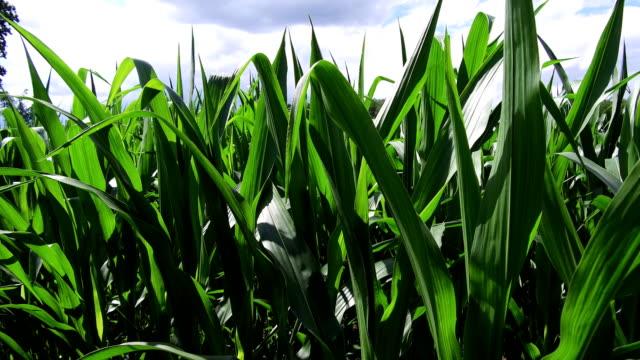 vídeos y material grabado en eventos de stock de maize field - maíz zea