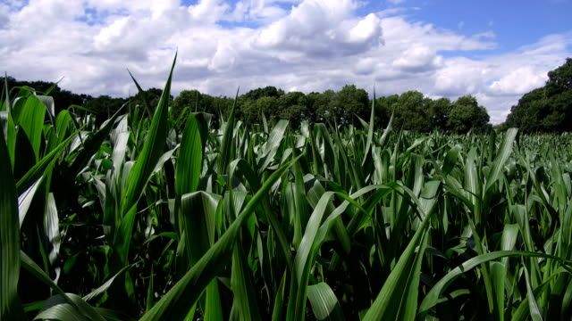 maize field - maize stock videos & royalty-free footage