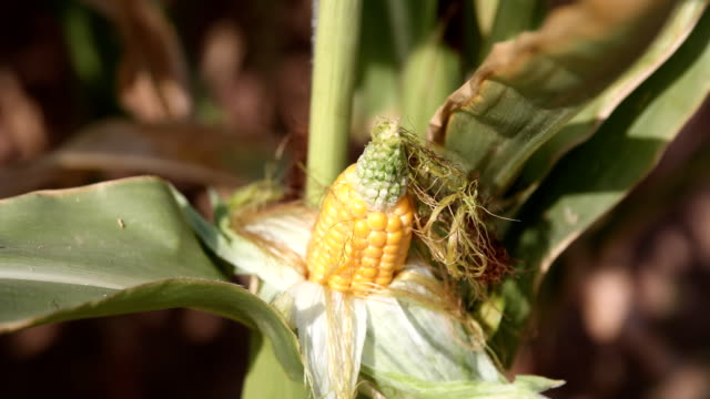 maize harvest in germany - maze stock videos & royalty-free footage