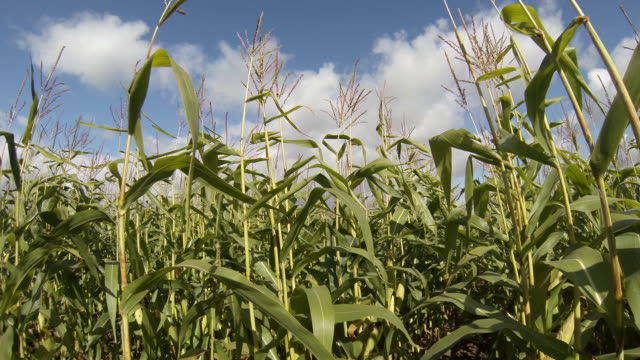 maize sweet corn crop - maize stock videos & royalty-free footage