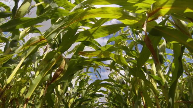 Maize sweet corn crop