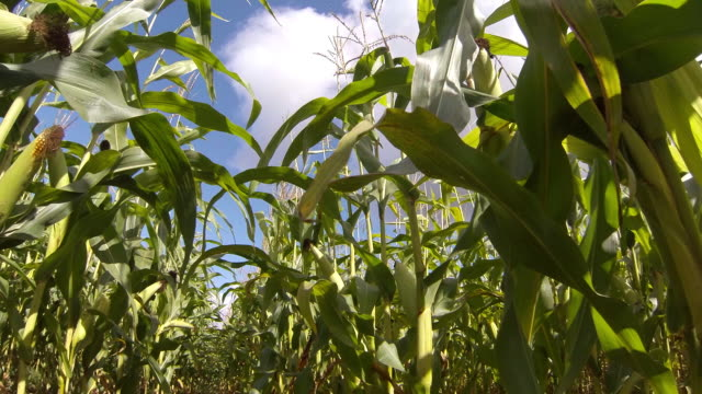 maize sweet corn crop - corn cob stock videos & royalty-free footage