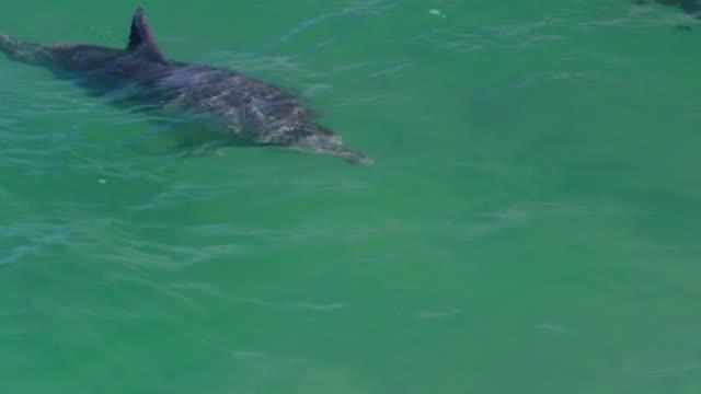 majestic bottlenose dolphins - western australia bildbanksvideor och videomaterial från bakom kulisserna