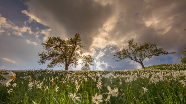 t/l majestic cloudscape over meadow of daffodils - daffodil stock videos & royalty-free footage