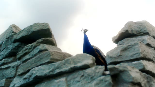 majestic peacock on rocks - majestic stock videos & royalty-free footage