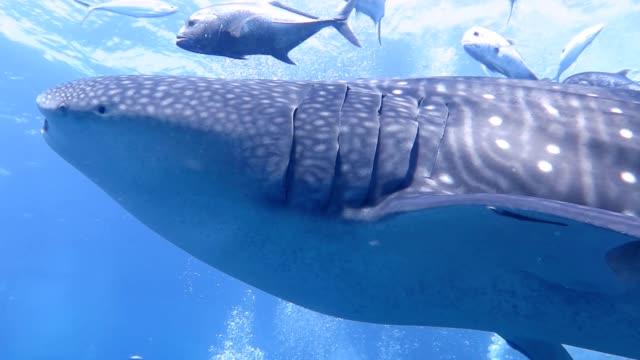 vídeos de stock e filmes b-roll de majestic whale shark swims slowly to camera - cetacea