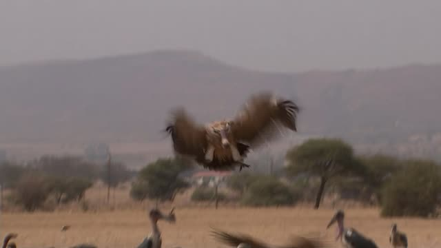 major conservation effort underway to save african vulture south africa magaliesberg mountains ext low angle view afican vultures scavenging at... - spread wings stock videos & royalty-free footage