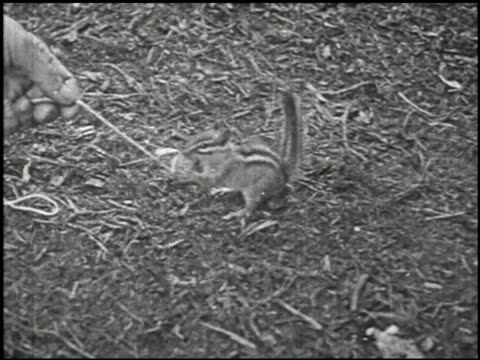 making friends with chipmunks - 3 of 11 - see other clips from this shoot 2217 stock videos & royalty-free footage