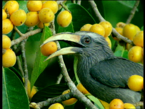 Malabar Grey Hornbill perched amidst yellow figs, tries to eat one and accidentally drops it, Western Ghats, Tamil Nadu