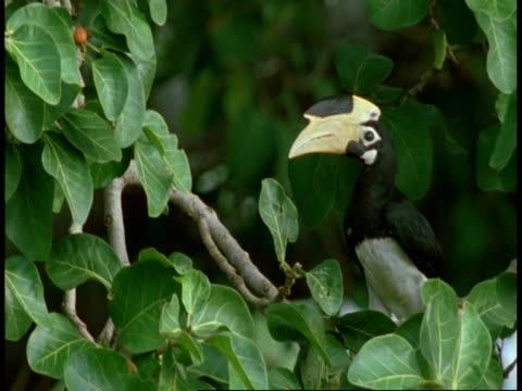 ms malabar pied hornbill, anthracoceros coronatus, in tree, bandhavgarh national park, india - bandhavgarh national park stock videos and b-roll footage