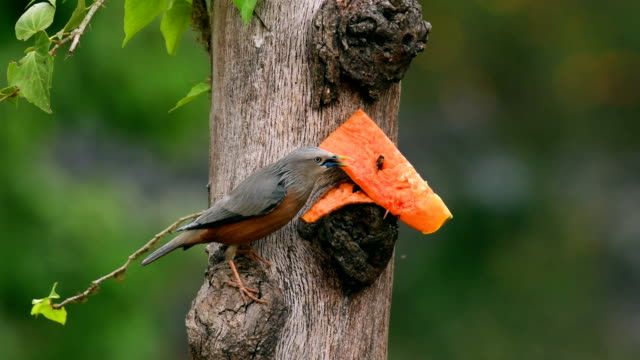 malabar starling (blyth's starling) feeding on a fruit from a tree trunk - feeding stock videos & royalty-free footage