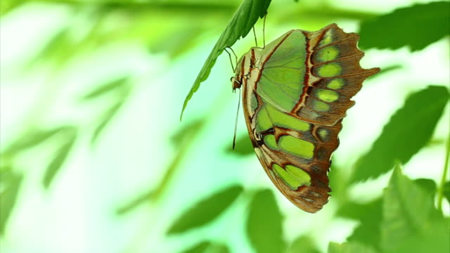 Malachite butterfly macro HD
