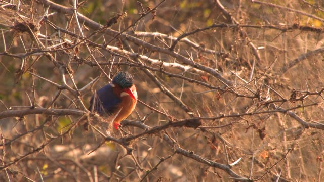A Malachite kingfisher perches in a thorny bush. Available in HD.