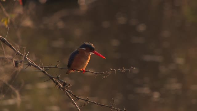 A Malachite kingfisher perches on a slender branch then flies away. Available in HD.