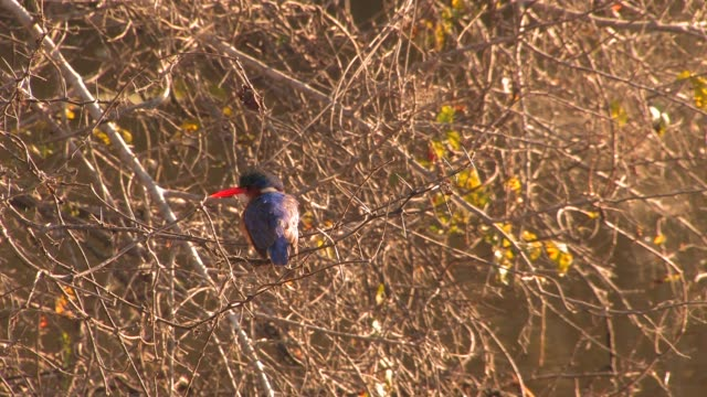 A Malachite kingfisher perches on a twig in South Africa. Available in HD.