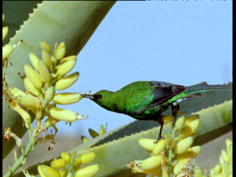 Malachite sunbird drinks nectar from quiver tree flowers, Karoo desert