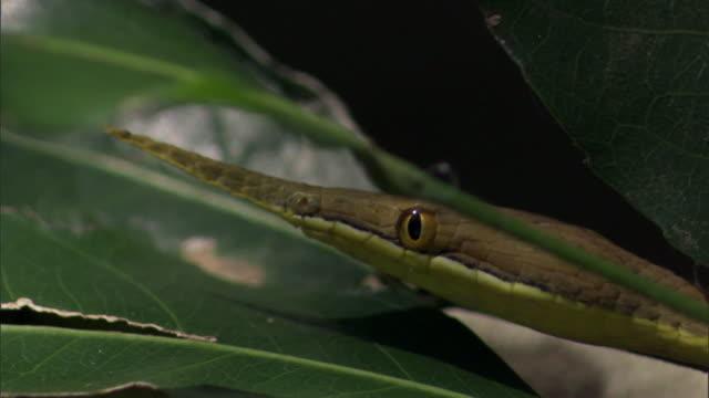 Malagasy leaf nosed snake (Langaha madagascariensis) in tree, Madagascar