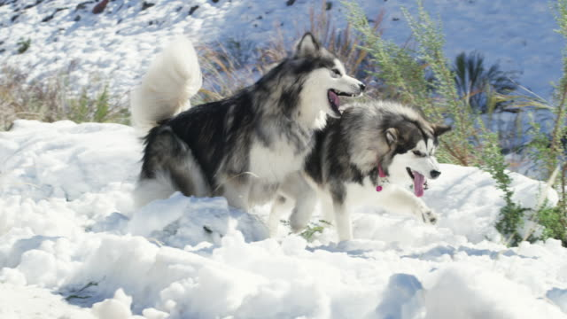 malamutes are the real snow angels - frozen stock videos & royalty-free footage