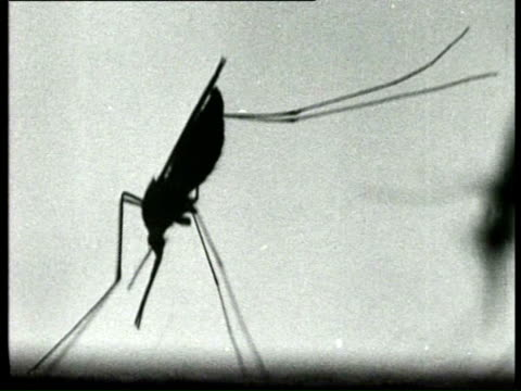 1940 b/w malaria mosquitoes being studied, one of the mosquitoes stings someone?s arm / netherlands - mosquito stock videos & royalty-free footage