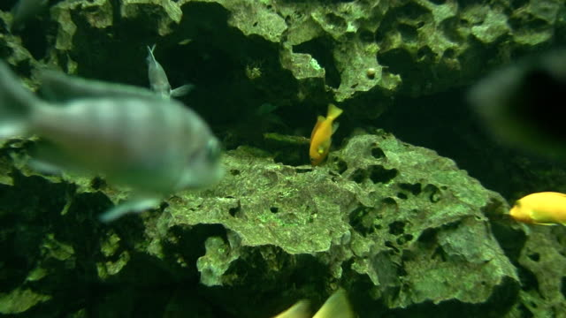 malawi chiclids eating algs - algae stock videos & royalty-free footage