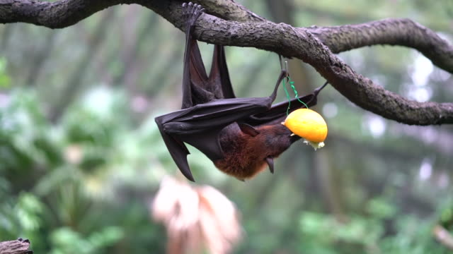 volpe volante malese che mangia frutta - frutta video stock e b–roll
