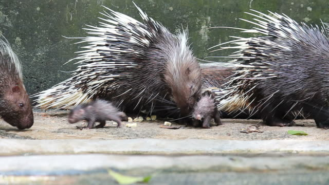 malayan porcupine family - animal family stock videos & royalty-free footage