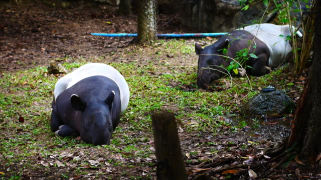 malayan tapir or tapirus indicus, lay down or sleeping for resting on green grass - myanmar stock videos and b-roll footage