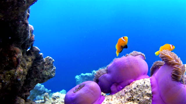 maldives anemonefish in a anemone on maldives - coral stock videos & royalty-free footage