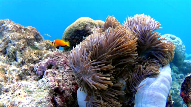 Maldives clown fish in a anemone
