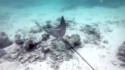Maldives Fish Spotted Eagle Ray Swimming Underwater In Sea Ocean