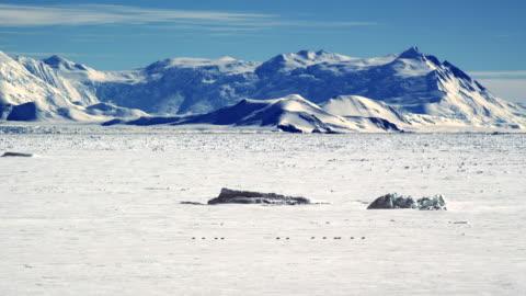 vidéos et rushes de male adelie penguins heading to antarctic ocean - pôle sud