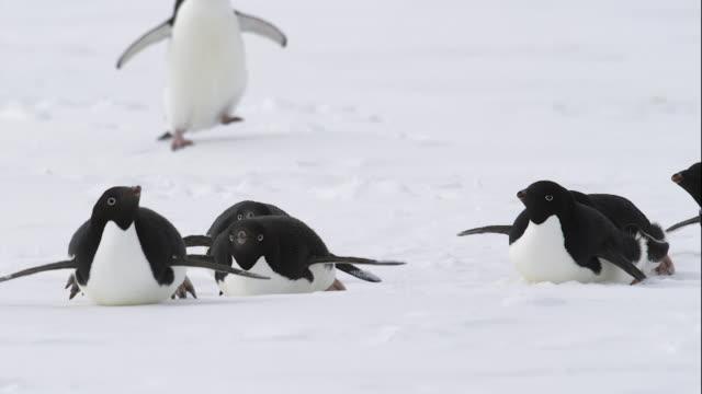 vídeos de stock e filmes b-roll de male adelie penguins heading to antarctic ocean - clima polar