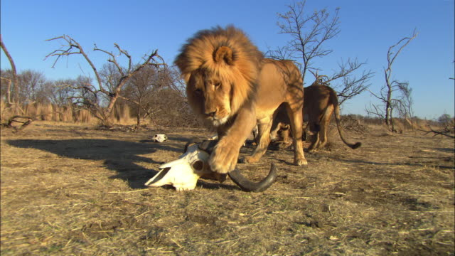 male african lion drags at water buffalo skull and carries it away from camera in his jaws - water buffalo stock videos & royalty-free footage