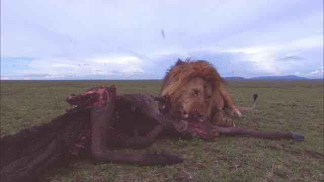 vídeos de stock e filmes b-roll de ws male african lion eating wildebeest carcase very close to camera  - matar