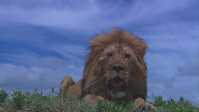 LA MS male African lion in profile sits down on ridge and looks out over camera