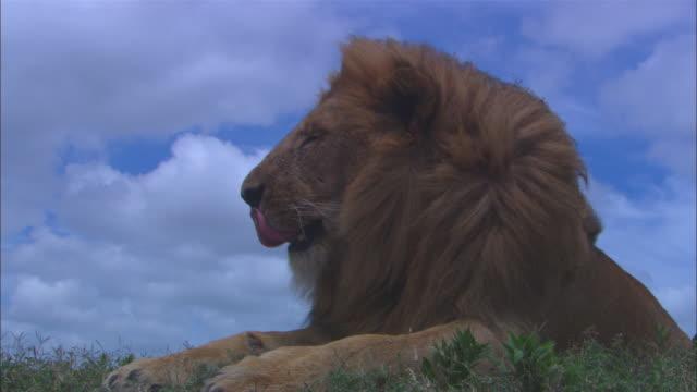 Lion sitting profile - photo#39