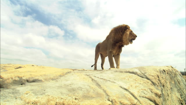 vidéos et rushes de la male african lion jumps up onto rocky outcrop walks to camera and jumps down  - outcrop