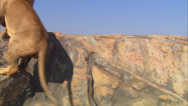 ms male african lion jumps up rocky outcrop and explores  - outcrop stock videos and b-roll footage
