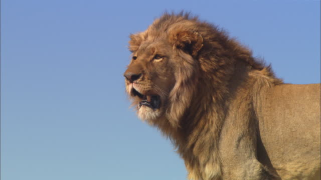 cu male african lion looks around and shakes then sits down on rocky outcrop - male animal stock videos & royalty-free footage