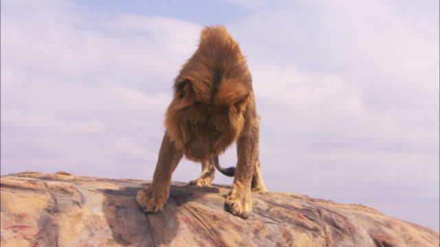vídeos y material grabado en eventos de stock de ms male african lion looks for route then climbs down from rock towards camera - movimiento hacia abajo