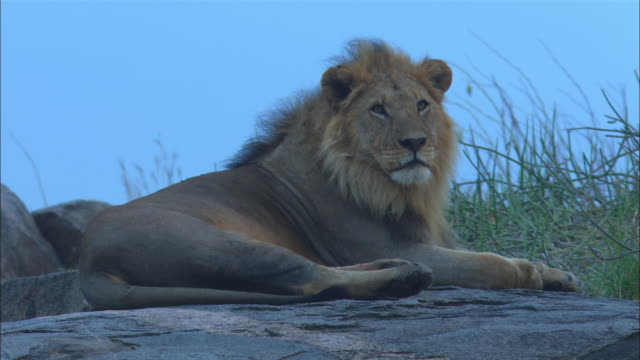 ms male african lion lying in profile on rocky outcrop - outcrop stock videos & royalty-free footage