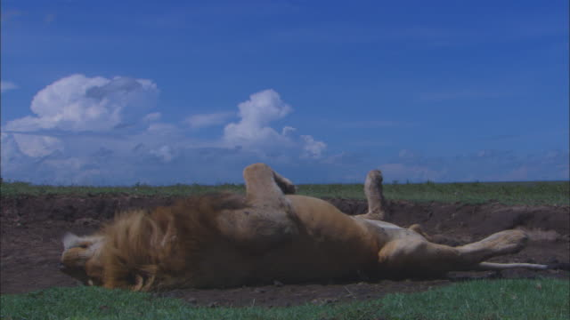 ms male african lion lying on its back blissfully sleeping on bare earth patch in grassland  - lying on back stock videos & royalty-free footage