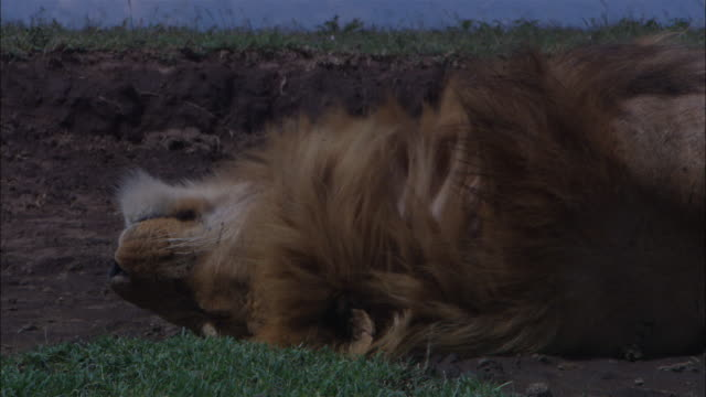 cu male african lion lying on its back blissfully sleeping on bare earth patch in grassland rolls over and lies on its side facing camera - lying on side stock videos & royalty-free footage