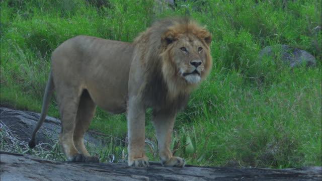 MS male African lion roars from rock outcrop ZI to CU then PAN as it walks across rock
