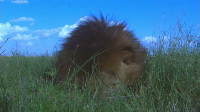 MS male African lion sitting in long grass very close to camera facing lens plagued by flies gets up and walks off