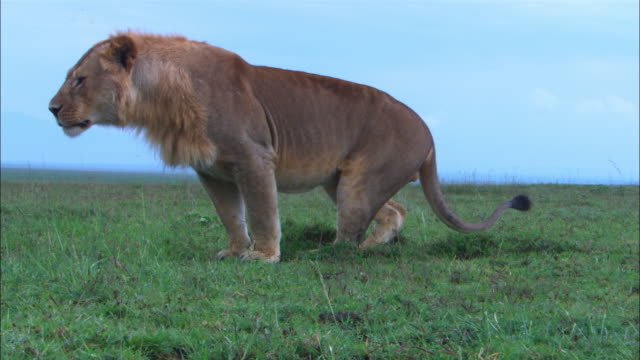 CU Male African lion sniffs ground close to camera then moves away and urinates before joing 2 other males