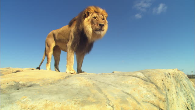 LA MS male African lion stands on rocky outcrop and looks around